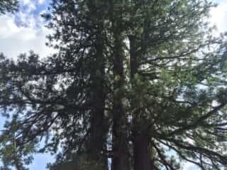 戸隠神社中社 戸隠の三本杉